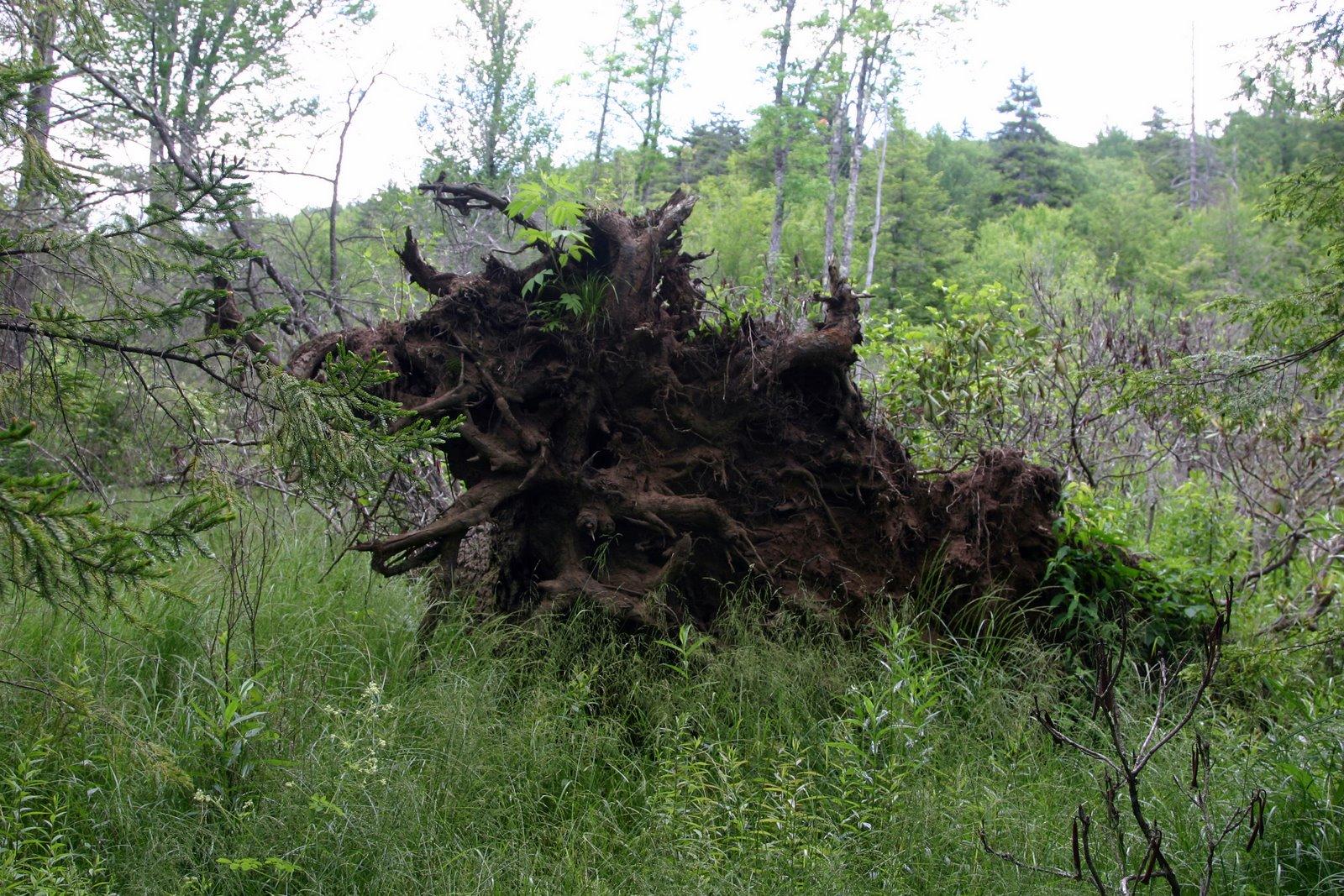Overturned tree