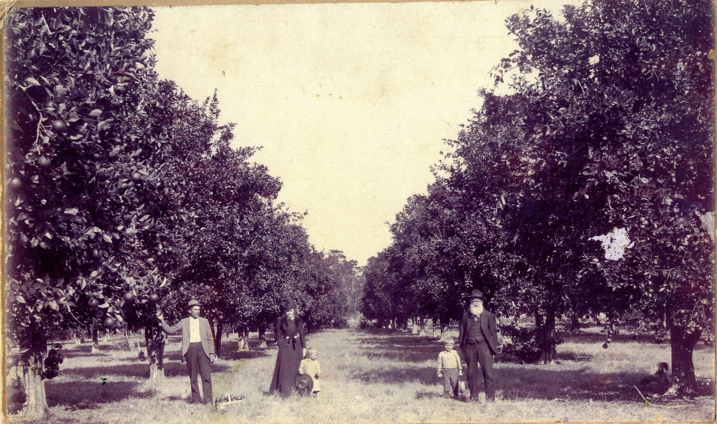 Daniel McMullen, his daughter Nannie McMullen Hardage, her husband, James Hardage, and two children in a citrus grove, Largo, Florida, circa 1905.