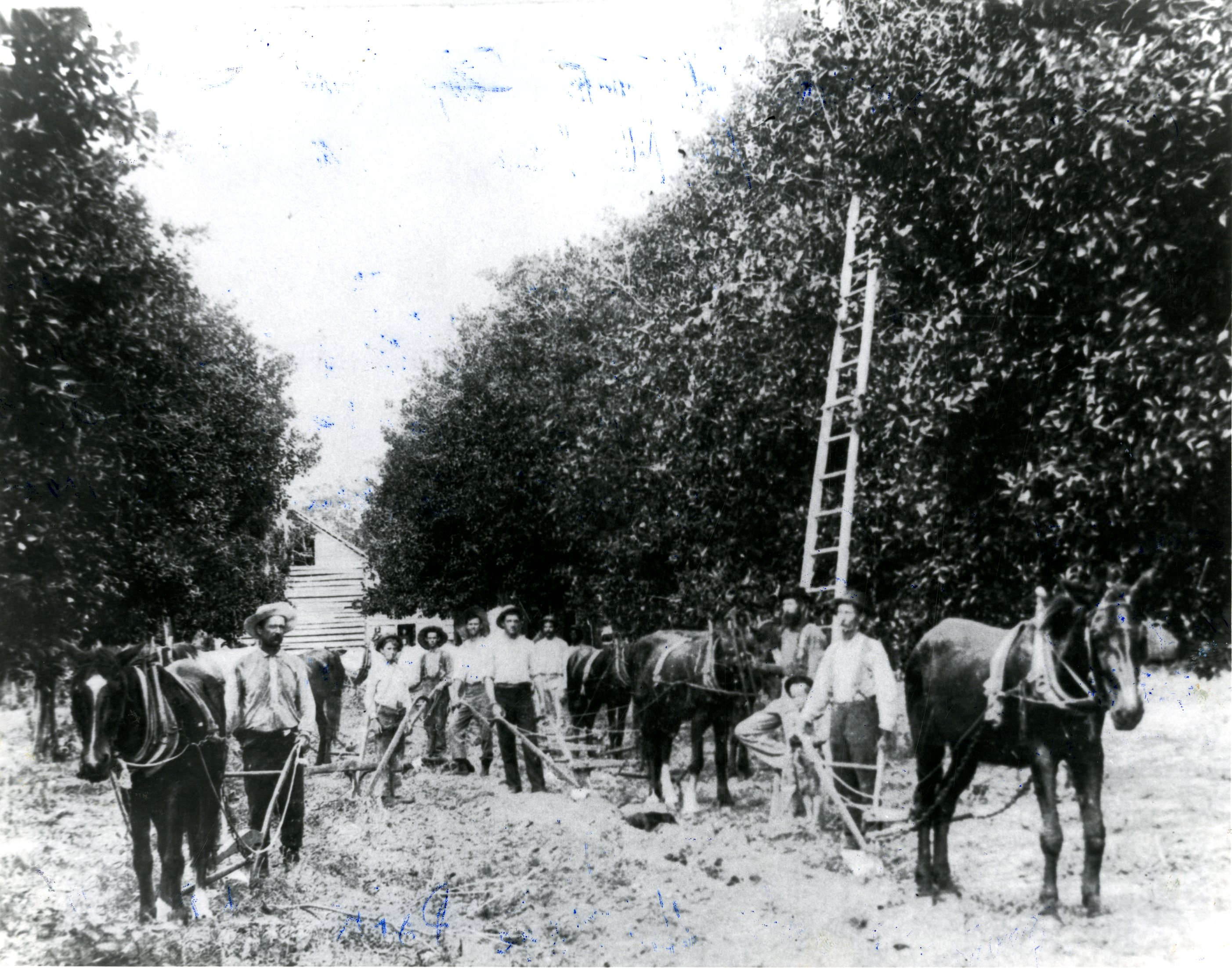 James P. McMullen and workers in citrus groves, Clearwater, Florida, circa 1895.