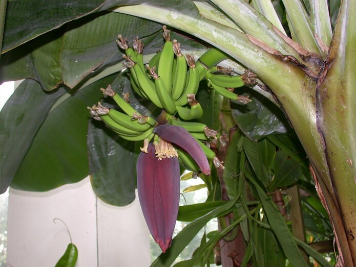 Dwarf Cavendish bananas