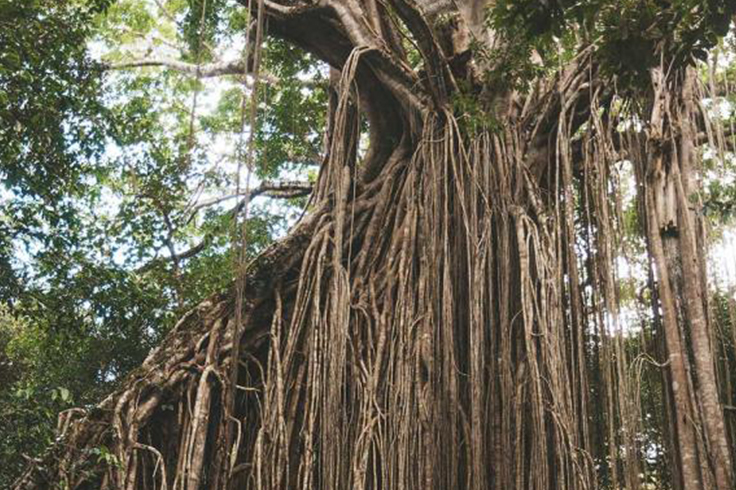 Large tree at Daintree Rainforest in Queensland