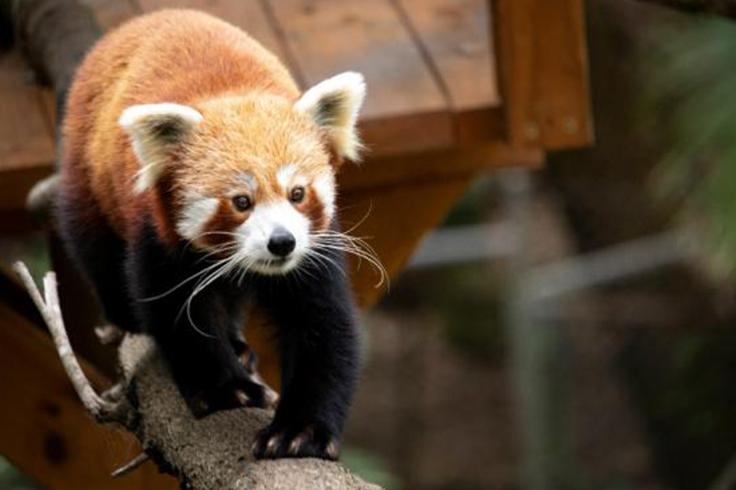 red panda in currumbin animal sanctuary gold coast