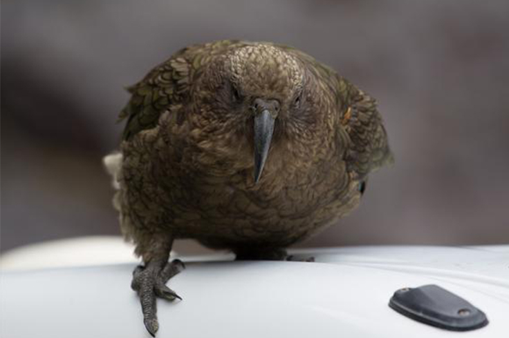 Kea bird on a car roof in Kaikoura