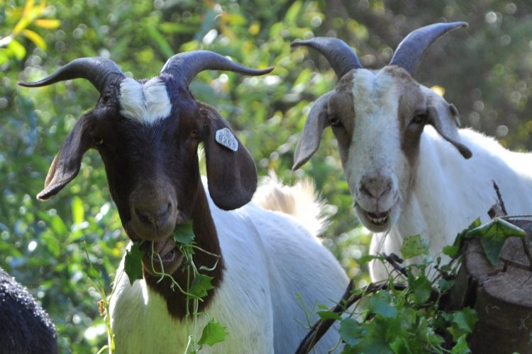 Goats eating cape ivy