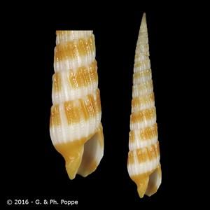 Myurella wellsilviae