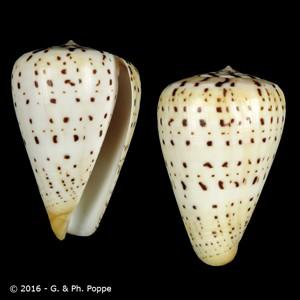 Dendroconus betulinus IVORY