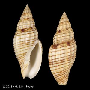 Lyria planicostata planicostata