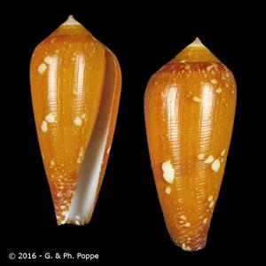 Darioconus crocatus crocatus YOUNG