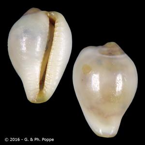 Sulcerato stalagmia