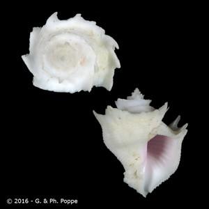 Babelomurex finchii
