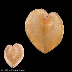 Corculum cardissa f. aselae FREAK
