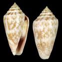 Austroconus clarus f. seagravei