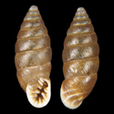 Abida polyodon polyodon