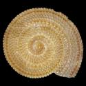 Granosolarium species