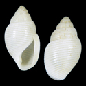 Leucotina species 001