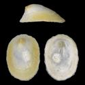 Iothia fulva