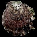 Spondylus nicobaricus SET