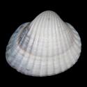 Cerastoderma glaucum CASPIAN SEA
