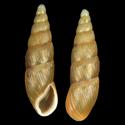 Sculptiferussacia clausiliaeformis