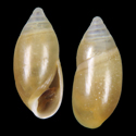 Amphorella oryza