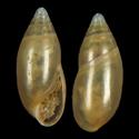Amphorella cimensis