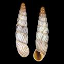 Albinaria calabacensis