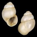 Alzoniella pellitica
