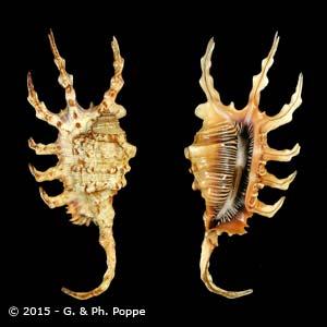 Lambis scorpius scorpius YELLOW