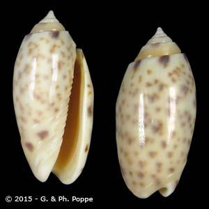 Oliva amethystina f. nebulosa