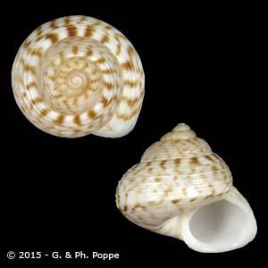 Cricophorus philippinarum