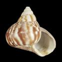 Achatina fulica f. umbilicata