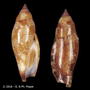 Terestrombus terebellatus terebellatus BROWN