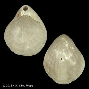 Magellania flavescens