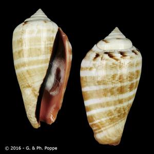 Conomurex luhuanus GIANT