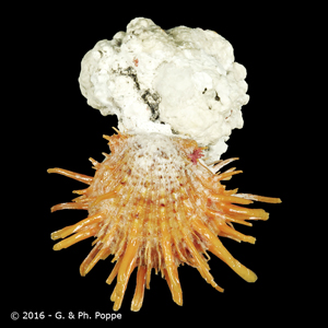 Spondylus variegatus ORANGE