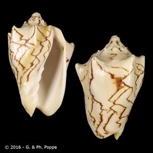 Cymbiola vespertilio f. pellisserpentis