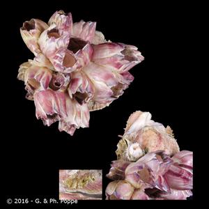 Balanus roseus