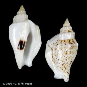 Dolomena variabilis FREAK