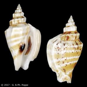 Dolomena variabilis SPECIAL COLOR