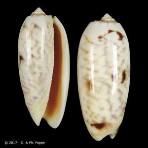 Oliva miniacea miniacea f. efasciata