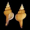 Fusinus australis