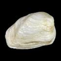 Hiatella australis