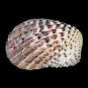 Cardita variegata