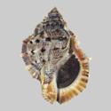 Bufonaria crumena cavitensis