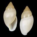 Euglandina corneola