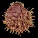 Spondylus multimuricatus cf.