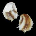 Crepidula aculeata