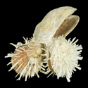 Spondylus echinatus CLUSTER