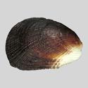 Beguina semiorbiculata