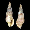 Colubraria ceylonensis